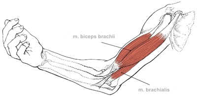 Brachii a brachialis