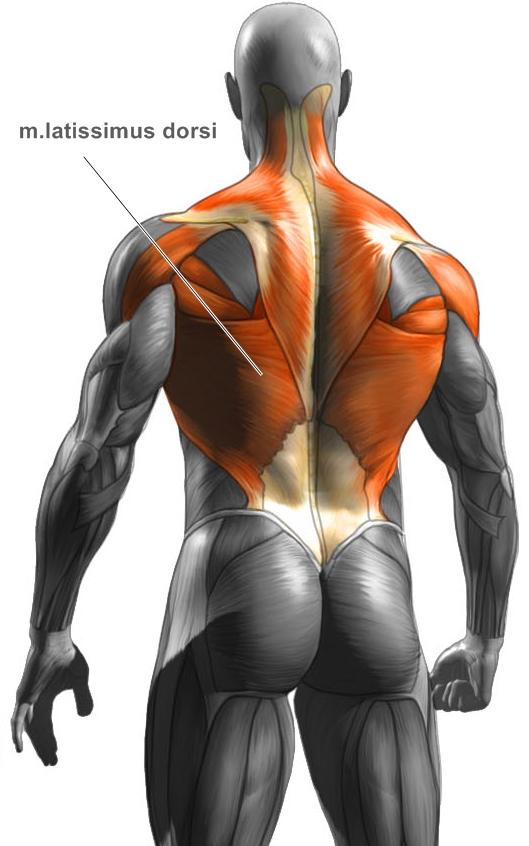 Široký sval zádový